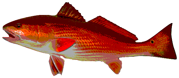 redfish1c.jpg